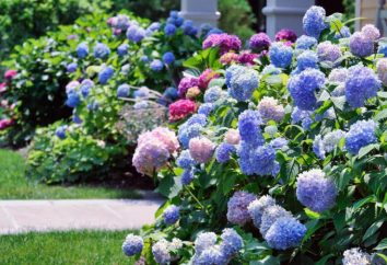 Cómo crecer jardín de hortensias: plantación y cuidados