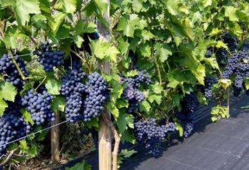 Winogrona Zilga: opis odmiany, sadzenie i pielęgnacja funkcji i opinie