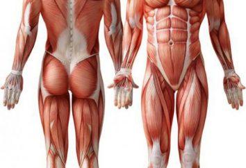 Muskeln – was ist das? Die Bedeutung der Muskeln im menschlichen Körper