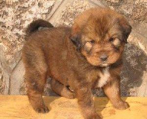 Mastiff tibétain – le chien le plus cher du monde
