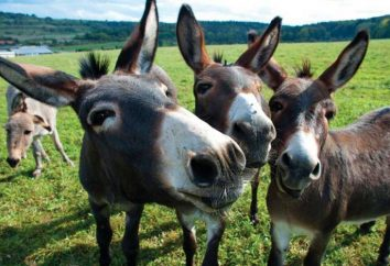 Muł – produkty uboczne pochodzące człowieka. muły pochodzenia. Muły – to …