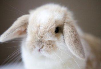 lapins décoratifs: les réponses. Race, le prix, le contenu des lapins