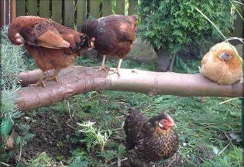 La maladie de Marek chez les poulets: symptômes, traitement, photo. Le vaccin contre la maladie de Marek