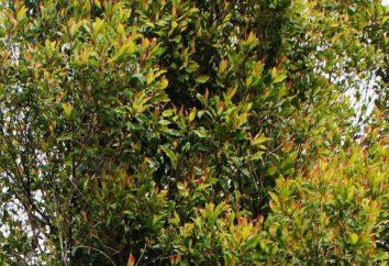 drzewo ząbek: opis, zdjęcia, podział, właściwości