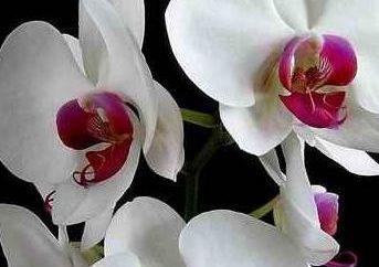 Wir wachsen Orchideen. Was tun, wenn diese wunderbaren Pflanzen ottsvetut?