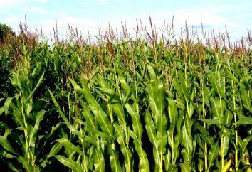 Kukurydza – jest to, że dla kultury? Mais: opis, składu, właściwości użytkowe