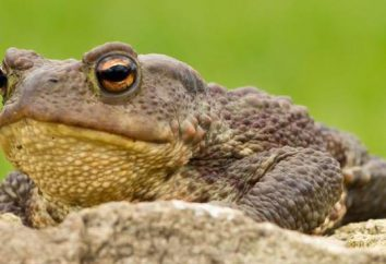 crapaud Terrestres – un amphibien avec une mauvaise réputation. Est-ce vrai?