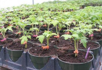 Wie für Tomaten im Gewächshaus, um kümmern ausgezeichnete Ernte zu erreichen?