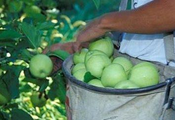 Jak zachować jabłka w zimie świeże: sprawdzone i niezawodne sposoby