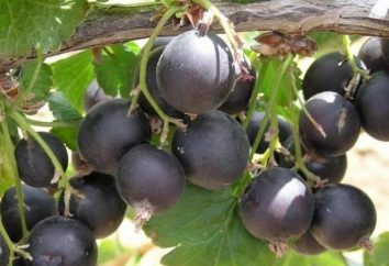 Berry Jost – la plantation et les soins
