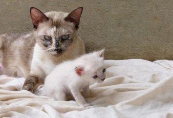 Pourquoi les chats mangent ses chatons? Recommandations pour la prise en charge des soins de chat enceinte