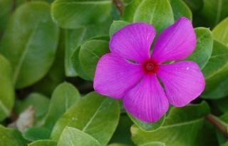 Catharanthus: Pflege zu Hause, Zucht und Vermehrung