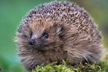Eu conheço o sonho: o que o hedgehog sonha?
