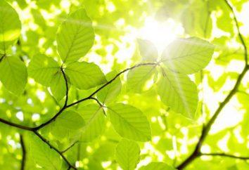 Il processo della fotosintesi: una concisa e comprensibile per i bambini. Fotosintesi: fasi chiare e scure