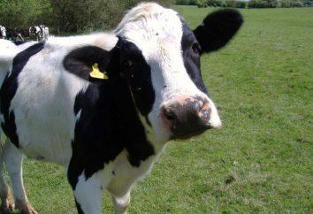 vacas de la viruela: el tratamiento y los síntomas