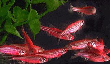 rose Danio – un grand poisson à plusieurs réservoirs