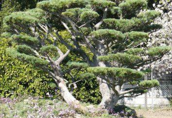 Pruning pine: die Bildung der Krone. Wie ein Kiefer pflanzen