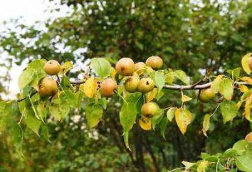 Ussuri Birne. Pflege und Kultivierung