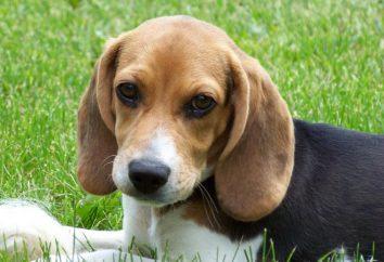 Beagle: commentaires des propriétaires, en particulier le caractère, la formation