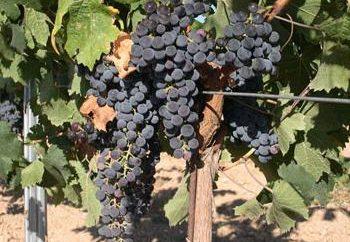 Les raisins d'alimentation, les dates d'engrais