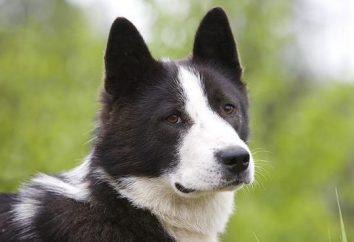 Siberian husky – opis rasy