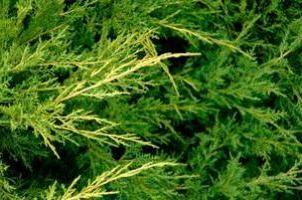 Secrets de jardinage: automne genièvre de plantation
