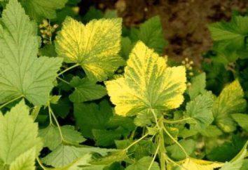Warum der schwarzen Johannisbeere Blätter gelb? Die Ursachen der Krankheit, Behandlung und Prävention
