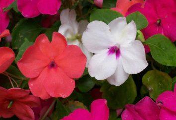Impatiens ampelnye: crescendo a partir de sementes, recursos e comentários