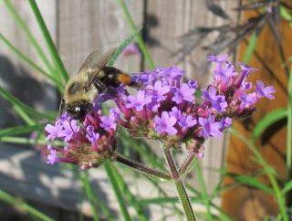 Buzzing, stinging, honey: à quoi ressemble une abeille?