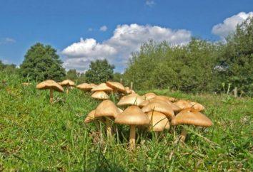 Funghi cottura: funghi prataioli
