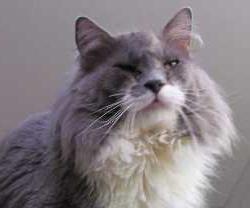 Perché gli occhi acquosi nei gatti? Perché sono gatti scozzesi o persiani occhi l'acqua?