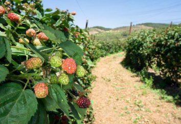 """Powtarzające malina """"cud Briańsk"""": opis odmian, sadzenia i hodowli"""