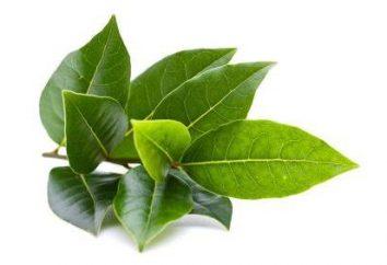 Hoja: funciones, descripción y estructura. Funciones de vigas conductoras en hojas