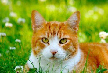 chat écossais met beaucoup – ce qu'il faut faire