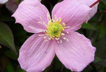 Clematis rosa montagna: piantagione e manutenzione, recensioni, foto