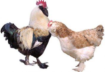 Faverolles Chicken (kurczak rasy): opis i opinie