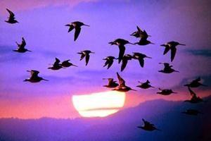 Dlaczego ptaki migrują. Jakie są ptaki wędrowne, a co – rozstrzygnięty