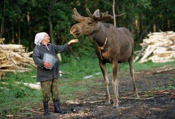 """gospodarstwo Elk w Kostroma: wycieczki, łosie mleko. Rezerwat naturalny stan """"Sumarokovo"""""""