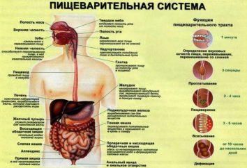 Jelito grube: funkcje i struktura