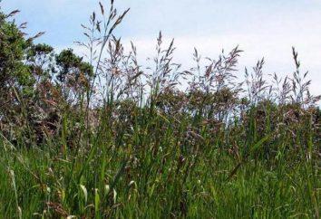 Fuoco di Bezosty (erba): impianto e cura