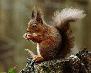 Ciekawostki o wiewiórki i latających wiewiórek