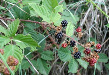 Blackberry: Bepflanzung und Pflege, Vermehrung Brombeere Stecklinge, Schichtung. Reproduktion Brombeere besshipnoy