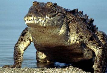 Największy krokodyl na świecie