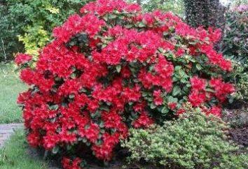 Rhododendron fiore – una favola della natura