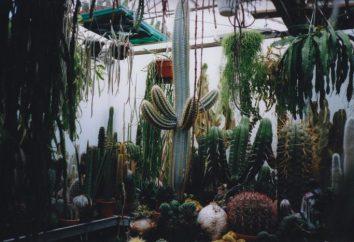 specie di cactus e cura. Cactus a casa