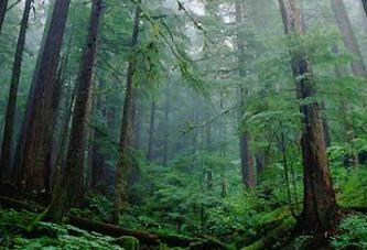 Cień drzewa tajgi: cechy i krótki opis