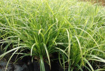 Sedge – erba che cresce in tutto il mondo