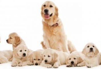 Filhotes falsos em cães: sintomas e tratamento