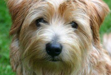Chi è il Norfolk Terrier?