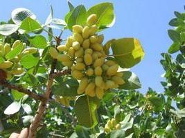 Korzyści i szkód z pistacjami
